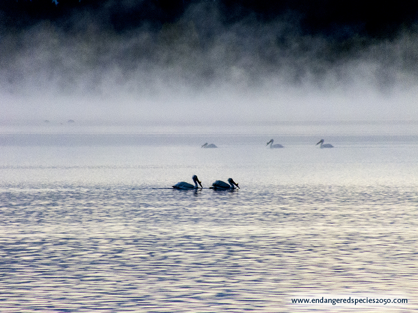 Endangered American White Pelicans in the Morning Mist of Quesnel BC Canada