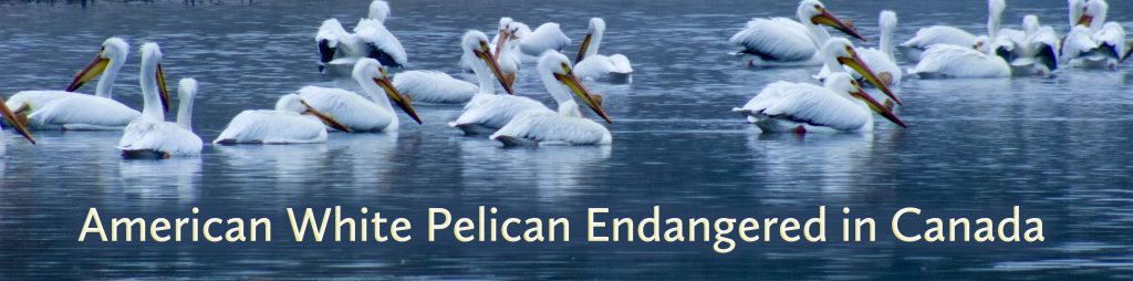 The American White Pelican is endangered in Canada